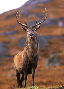 Red Stag Isle of Skye Scotland