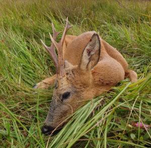 Roe Buck